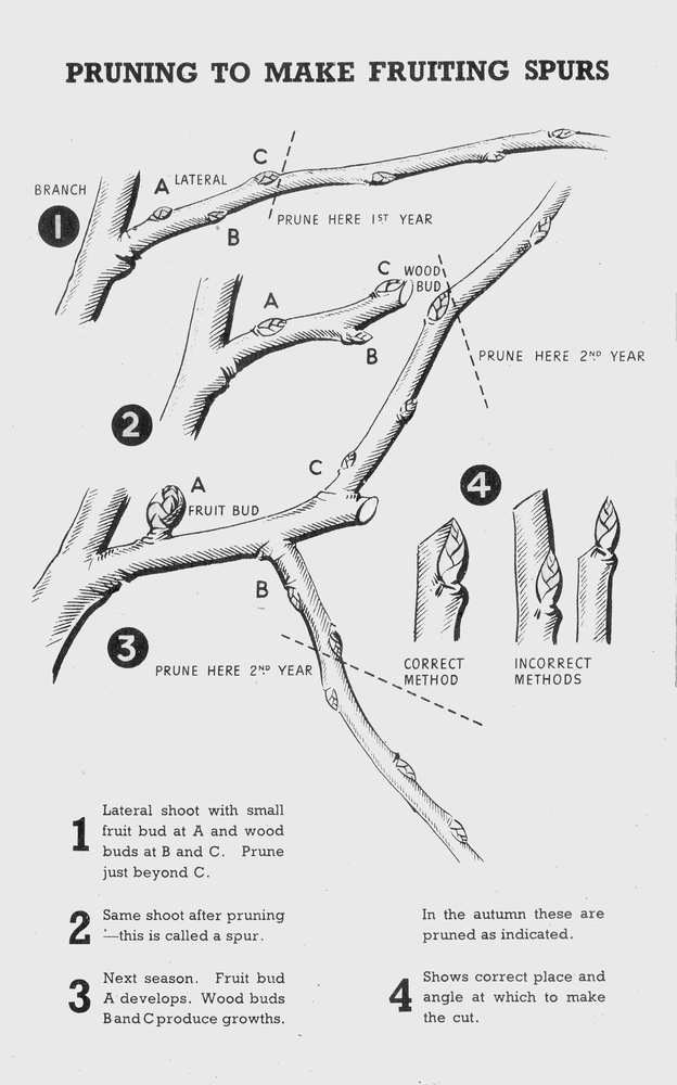 pruning tree fruits