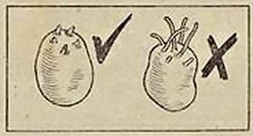 Potato Chitting