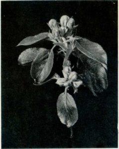 Fig 1 Pink Bud Apple