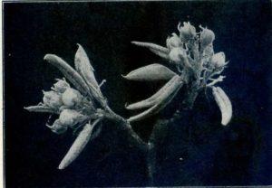 Fig 2 White Bud Pear
