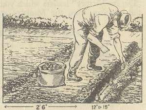 Planting Jerusalem Artichokes