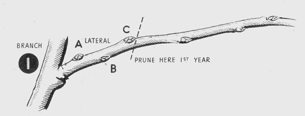 Pruning Fruit Trees Diagram 1