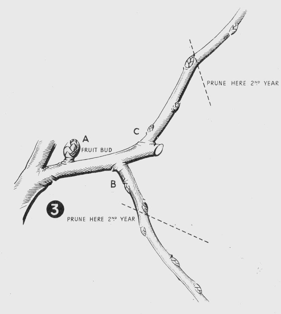 Pruning Tree Fruit Diagram 3