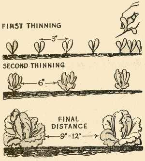 Thinning Lettuce