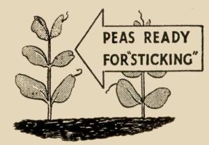 Peas Ready for Sticking