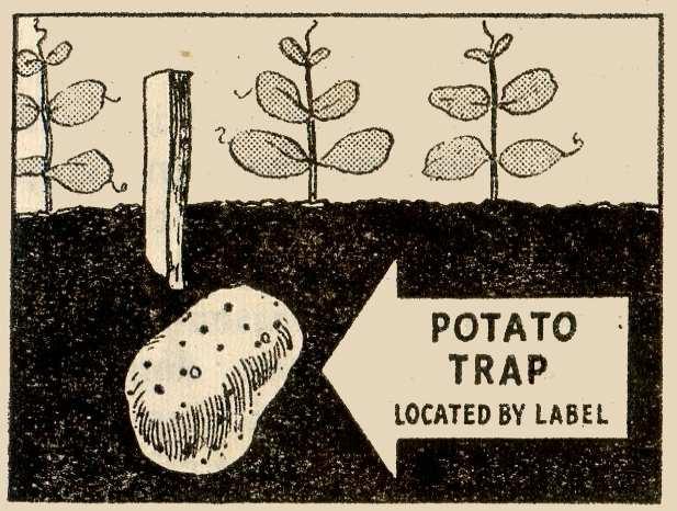 Wireworm Potato Trap