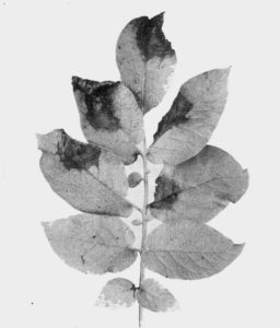 potato blight leaf