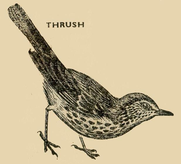Bird Thrush