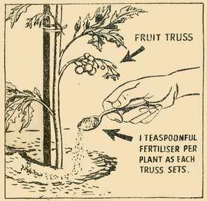 Fertilising Tomatoes