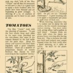 Thinning & Tomato Cultivation