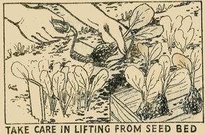 Lifting Brassica Seedlings
