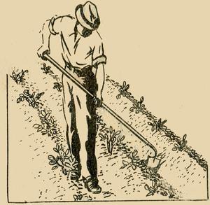 Man Earthing Up Potatoes