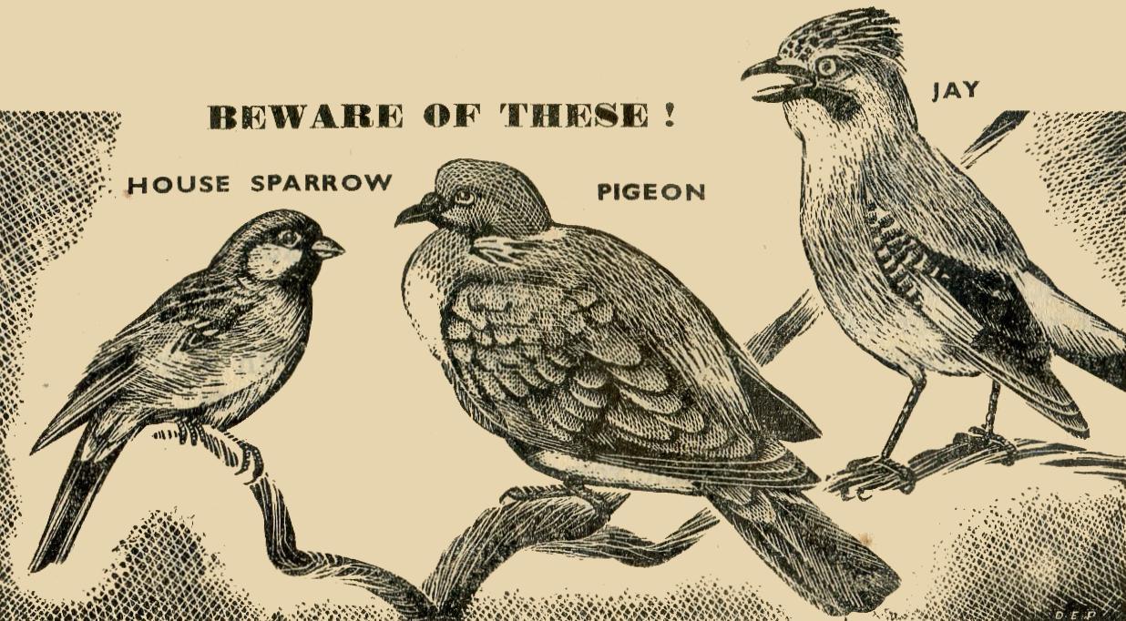 Pigeon Jay Sparrow