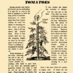 Cultivating Outdoor Tomatoes