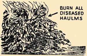 Burn Diseased Potato Haulm