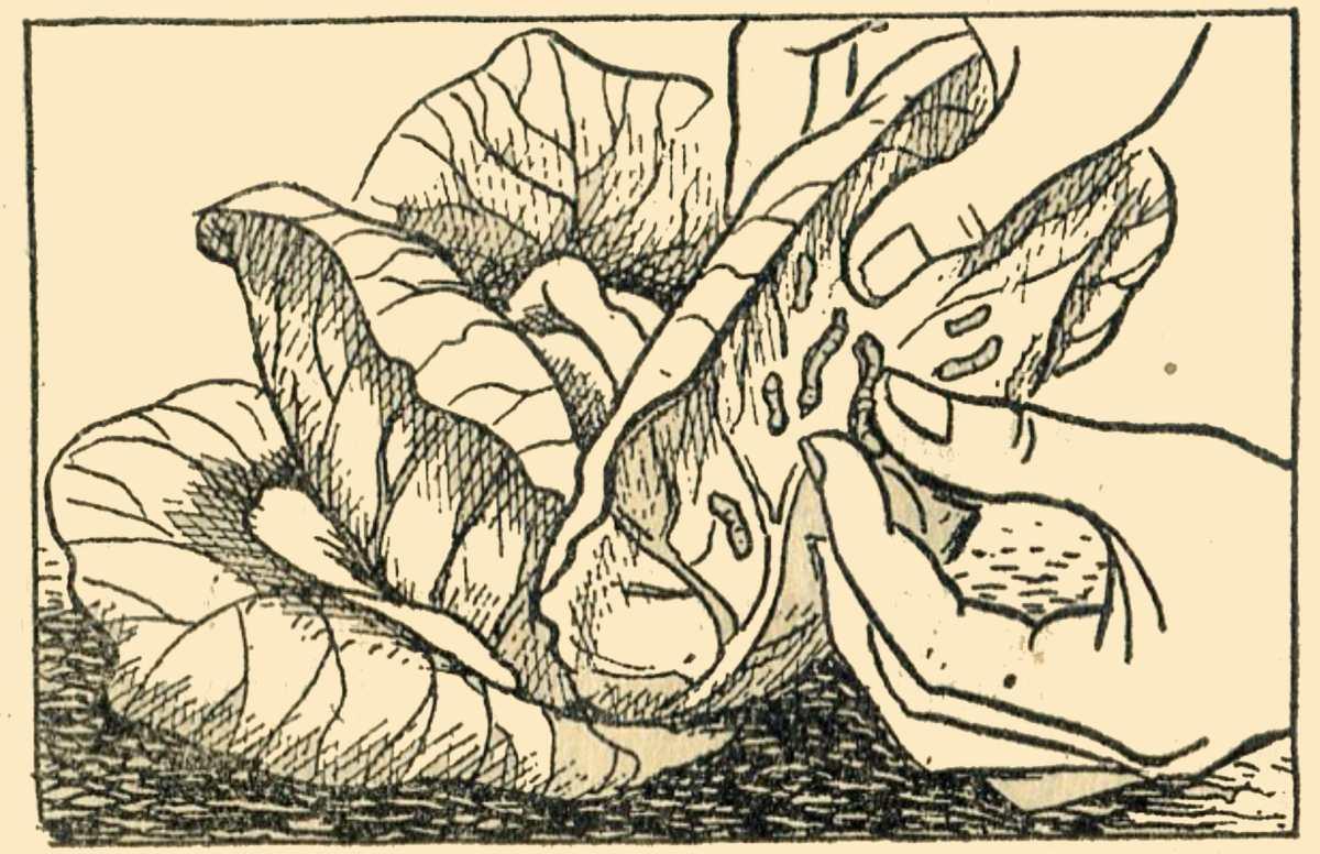 Cabbage Caterpillars
