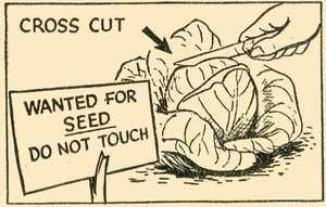 Cross Cut Cabbage
