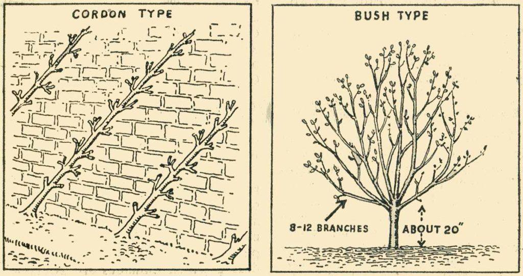 Fruit Trees Cordons Bush