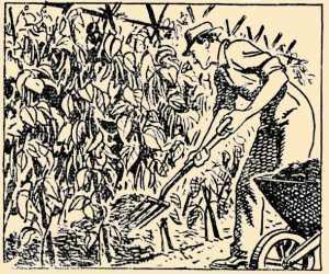 Mulching Runner Beans