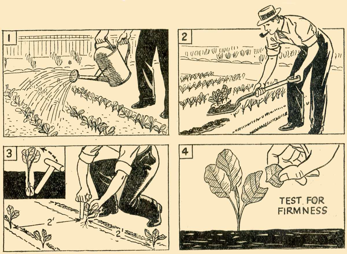 Planting Brassicas