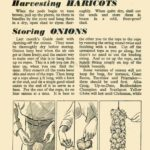 Harvesting Storing Haricots & Onions