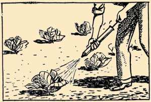 Spraying Cabbages